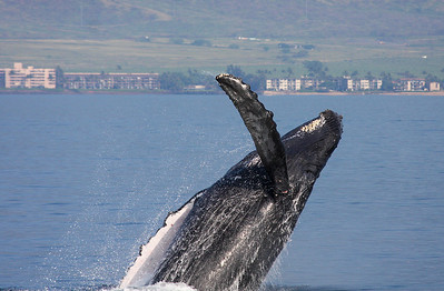 A Humpback rolls over onto its back, completing a near-360-degree rolling breach. The pink blotches at the base of the pectoral fin are minor cuts and scrapes caused by the force of the impact on the water's surface after multiple breaches. 13 February 2011