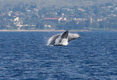 A rare mother-and-calf double-breach. The calf is breaching just in front of the larger female.  19 January 2014