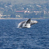 A rare mother-and-calf double-breach. The calf is breaching just in front of the larger female.<br /> <br /> 19 January 2014