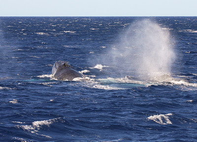 "A member of a surface-active competition pod blows heavily from the exertion of the ""chase"".   15 February 2013"