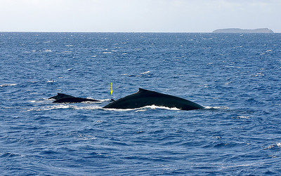 "An ""Odd Pod"" of Humpback Whales (Megaptera novaeangliae), Ma'alaea Bay, South Maui. In addition to the large mature female in the foreground, a smaller escorting adult in the middle of the pod, and a calf to the left of that whale, this pod includes a Bottlenose Dolphin (Tursiops truncatus, indicated by yellow arrow) that stuck around for the better part of an hour, apparently ""playing"" with the young calf. This is not unusual behavior for Maui's permanent population of dolphins. Molokini Island looms on the horizon. April 18, 2010."