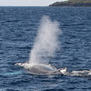 A Humpback whale exhales loudly as it crosses the bow of my boat.<br /> <br /> 9 February 2014