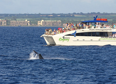 Passengers aboard the MV OCEAN ODYSSEY (Pacific Whale Foundation) crowd the port-side decks to watch a young Humpback whale performing a long series of fluke slaps.  9 February 2014
