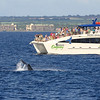 Passengers aboard the MV OCEAN ODYSSEY (Pacific Whale Foundation) crowd the port-side decks to watch a young Humpback whale performing a long series of fluke slaps.<br /> <br /> 9 February 2014