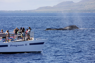 "Spectators aboard FROGMAN II (one of the many ""cattle boats"" operating out of Ma'alaea Harbor) watch excitedly as the members of a small competition pod mix it up close by.  24 February 2014"