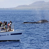 "Spectators aboard FROGMAN II (one of the many ""cattle boats"" operating out of Ma'alaea Harbor) watch excitedly as the members of a small competition pod mix it up close by.<br /> <br /> 24 February 2014"