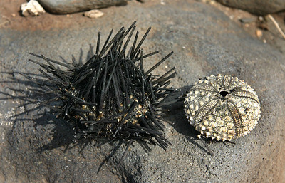 A Black Sea Urchin (Centrostephanus rodgersii) with its spines intact (bleached spineless test  on the right for comparison), Ukumehame, West maui.