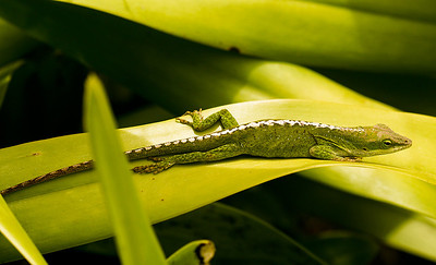 A female Green Anole (Anolis carolinensis) resting among a dense patch of bromeliads. Ulupalakua, south Maui. Anoles' diets include live insects and other invertebrates, with crickets, spiders, and moths. Anoles have many readily identifiable features. They have dewlaps, made of erectile cartilage, that extend from their neck/throat areas. Their toes are covered with structures that allow them to cling to many different surfaces. Also, their tails have the ability to break off at special segments to escape predators or fights. The tail continues to wriggle strongly for some minutes after detaching. This ability is known as autotomy. Anoles are also diurnal - active during the daytime. Some species of anoles exhibit sexual dimorphism, which allows one to discern between males and females fairly easily with the naked eye. In green anoles, the female is characterized by a pale dorsal stripe extending from the neck to the tail, a generally smaller body, and a smaller head with a shorter snout. Several genera of Anoles are present on Maui.