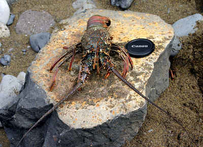 Banded Spiny Lobster (Panulirus marginatus) caught at Honomanu Bay, east Maui. This species is endemic to the Hawaiian Islands. They do NOT have large pincers (claws) on their forelegs like their North American cousins. However, they are quite large, carnivorous, and highly prized by local divers.