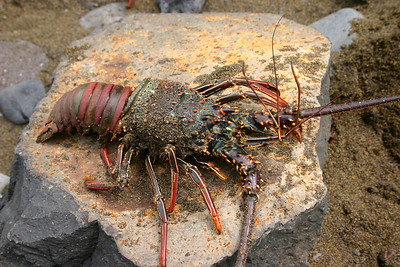 Banded Spiny Lobster (Panulirus marginatus), caught at Honomanu Bay, east Maui.