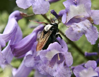 A large Carpenter Bee (Xylocopa valga or X. violacea) robbing nectar in the blossoms of a Jacaranda tree (Jacaranda mimosifolia) near Ulupalakua Ranch, southern Maui.