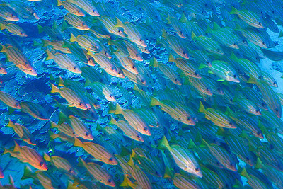 A school of Bluestripe Snappers (Lutjanus kasmira; also known as the Bluestripe Sea Perch and the Blue-line Snapper) is a common species of marine fish of the snapper family Lutjanidae. Lahaina, Maui.