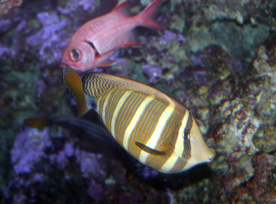 Sailfin Tang (Zebrasoma veliforum) in the foreground, being shadowed by an Epaulette Soldierfish (Myripristis kuntee). Manele Bay, Lana'i.