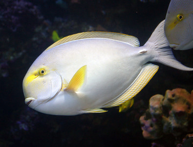 An unidentified Surgeon Fish, Molokini Crater, south Maui. The surgeonfishes have all sorts of juvenile and pre-adult stages that have all manner of colorations very dissimilar from mature adults, making it difficult to identify them.