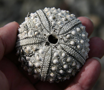 "The calcareous remains (known as the ""test"") of one of about 50 Black Sea Urchins (Centrostephanus rodgersii) I found washed up high onto the rocky shoreline of a beach near Ukumehame. This one had most of its spines scrubbed off in the surf. Considering how delicate the test is without living tissue to hold it together, it's amazing that it's still intact."