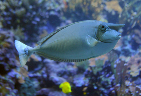 Whitemargin Unicornfish, Maui Ocean Center.
