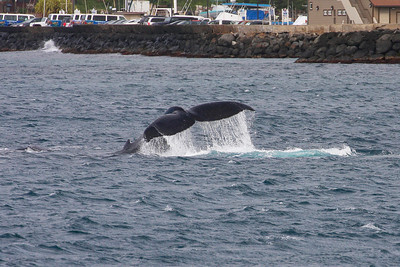 A Humpback whale calf performs some energetic fluke slaps in the shallow waters just offshore from Ma'alaea Harbor's breakwater. 15 March 2014