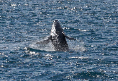 Doing an acrobatic backward-facing breach, a newborn Humpback displays its ventral pleats (linear accordion-like grooves) that allow Humpies to expand the volume of their mouth cavities. 25 January 2014