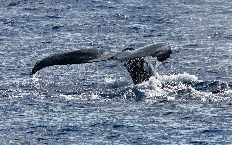 Its flukes still tender from a prolonged round of high-energy fluke-slapping, a young whale performs a gentle flukes-up dive.  15 February 2014