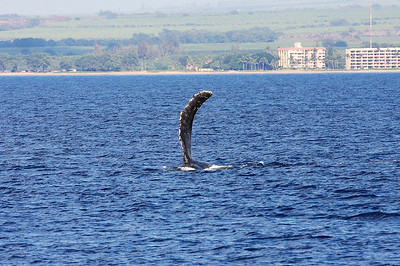 """A solitary Humpback whale performs a series of """"pec waves"""", repeatedly waving and slapping its huge pectoral fin on the surface. 19 Jan 2014"""