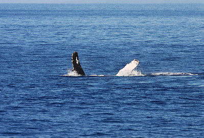 A lone Humpback whale rolled onto it back lolls peacefully at the surface, gently waving its huge pectoral fins. 18 Jan 2014