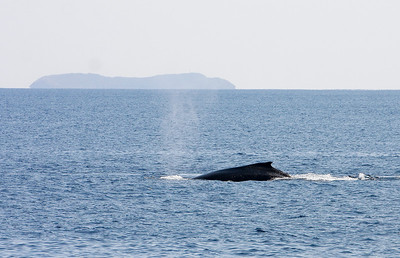An immature Humpback whale cruises at a leisurely pace as it passes Molokini Crater in the distance. 19 Jan 2014