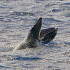 A young Humpback whale calf racing ahead of its mother throws open its jaws to take a much-needed breath, exposing the row of baleen lining its upper jaw. <br /> 9 March 2014