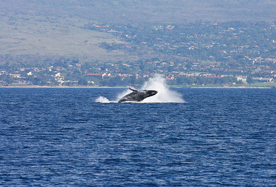 Following its mother's example, a newborn Humpback whale calf gamely performs a more subdued breach as it's mother splashes back into the water after performing her own breach. 19 Jan 2014