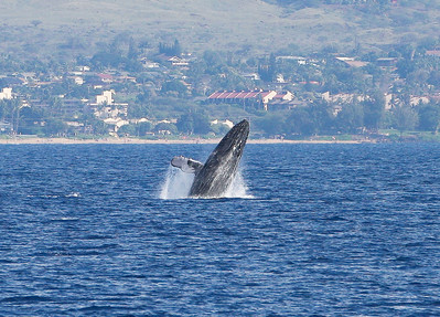 A Humpback whale calf breaches, seemingly jumping for the sheer enjoyment. 19 Jan 2014