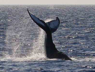 Rolled onto its back in the water, a mature whale performs numerous fluke slaps, displaying the distinctive coloration on the ventral aspect of its flukes. 9 February 2014
