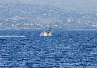 A Humpback whale calf performs a half-breach. 19 Jan 2014