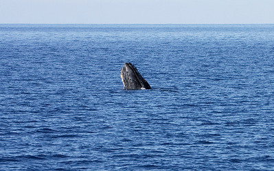 "A lone Humpback whale ""spy-hopping"" just outside Ma'alaea Bay, Maui. 18 Jan 2014"