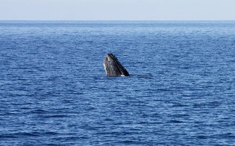 """A lone Humpback whale """"spy-hopping"""" just outside Ma'alaea Bay, Maui. 18 Jan 2014"""