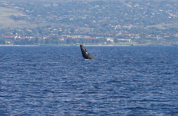 A young Humpback whale calf, probably born a few weeks previous, performs a series of progressively more skillful breaches. Its mother trails behind, at right, just out of the picture. 19 Jan 2014