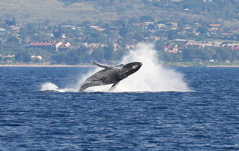 Closeup: Following its mother's example, a newborn Humpback whale calf gamely performs a more subdued breach as it's mother splashes back into the water after performing her own breach. 19 Jan 2014