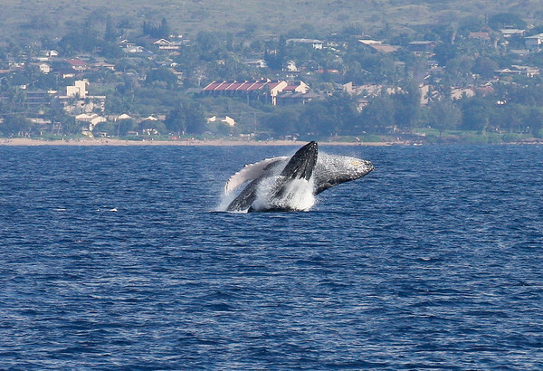 """A rare """"double breach"""" performed by a cow and calf; mothers of newborn Humpback whales are often seen performing this and other behavior with their newborns, apparently teaching to do """"whale stuff.""""  19 Jan 2014"""