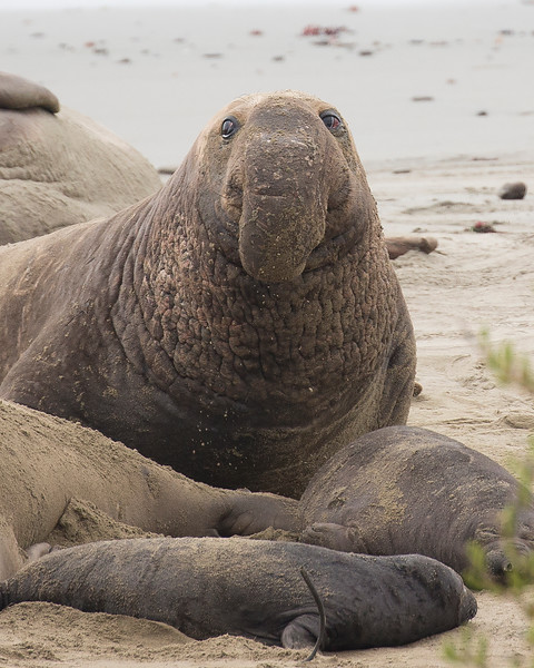 Elephant Seal - Ano Nuevo State Beach - California Coast