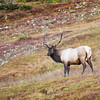 A Bull Elk contemplating the photographer, captured during the fall rutting season in Rocky Mountain Nat'l Park.