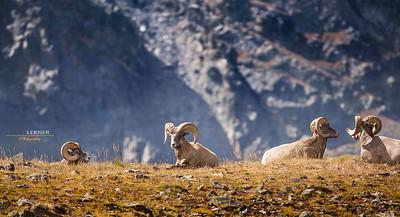 Big Horn Sheep enjoying the warm sun at 10,000 feet.  Captured in Rocky Mountain Nat'l Park.