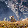 Big Horn Sheep enjoying the warm sun at 10,000 feet.  Captured in Rocky Mountain Nat'l Park.