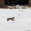 Yosemite Bobcat