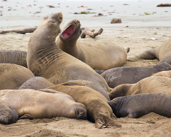 Elephant Seals - Ano Nuevo State Beach - California Coast
