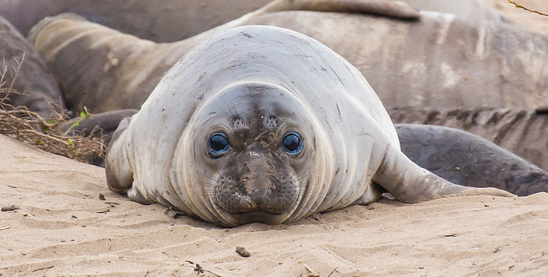 Elephant Seal pup - Ano Nuevo State Beach - California Coast