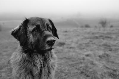Estrela Mountain Dog Black and White Images
