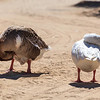 Arabian gooses relaxing under mild heat and sun of Dubai in Al Qudra Lake.
