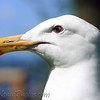 Seagull @ Vancouver.