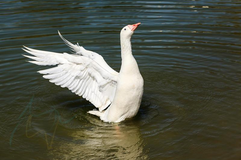 Arabian goose taking shower in the lake of Al Qudra under mild heat and sun of Dubai.
