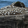 Gannet Colony in Auckland, New Zealand. Taken in Muriwai.