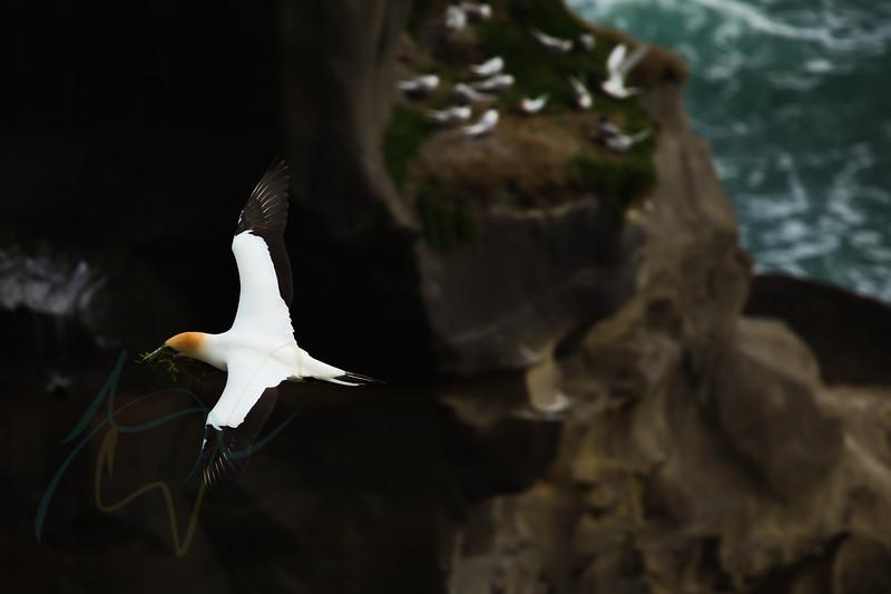 Gannet Colony in Auckland, New Zealand. Taken in Muriwai.