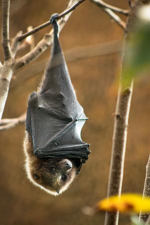 Rodriguez Fruit Bat
